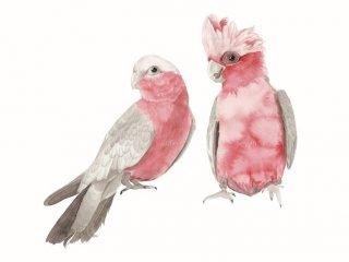 Pink and Grey Galahs